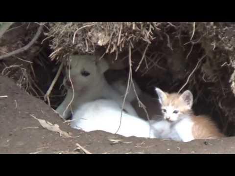 naluri binatang kucing menyusu di induk anjing bahkan bermain bersama