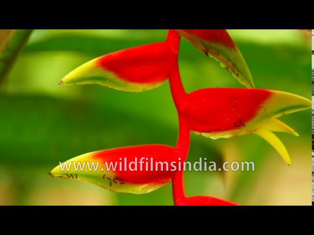 Heliconia Hanging Lobster Claw Or False Bird Of Paradise Heliconia Rostrata Inflorescence Close Up Youtube