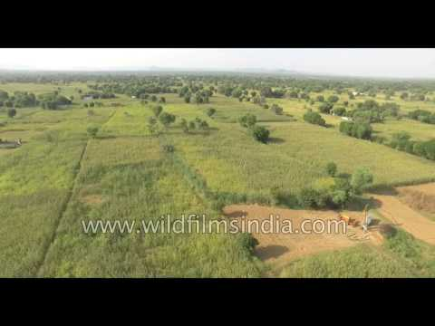 Farmland growing legumes and bajra - aerial flight over Village in Rajasthan
