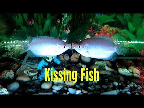 Kissing Fish - Kissing Gouramis