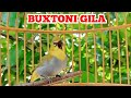 Pleci Buxtoni Gacor Twit Twit Zipper Kicau Pidong  Mp3 - Mp4 Download