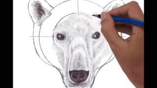 Head of Polar Bear front view