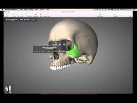 Facial Bones skull