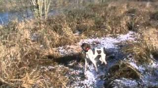 German Shorthaired Pointers Pheasant Hunting Nh 2011 Remix #5