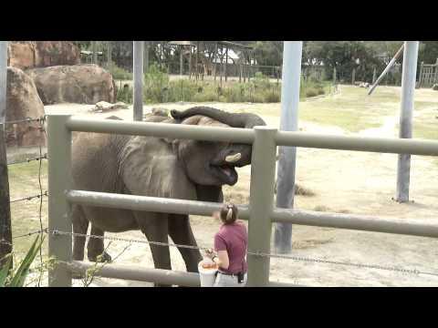 Manatee, Elephants, Tortoise and Raptors on Wildlife at Tampa's Lowry Park Zoo