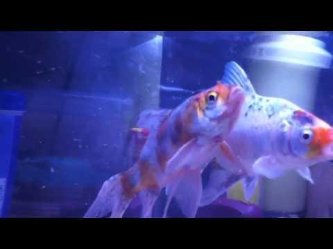 Acara catfish breeding dance | Doovi