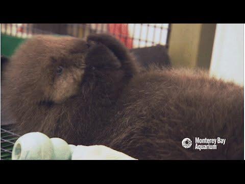 Saving Sea Otter 696: Staying Fluffy