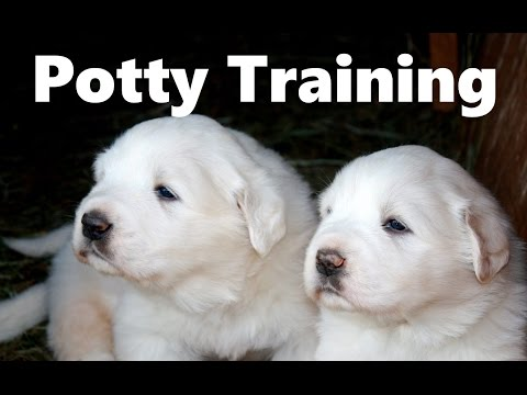 How To Potty Train A Great Pyrenees Puppy - Great Pyrenees House Training - Great Pyrenees Puppies