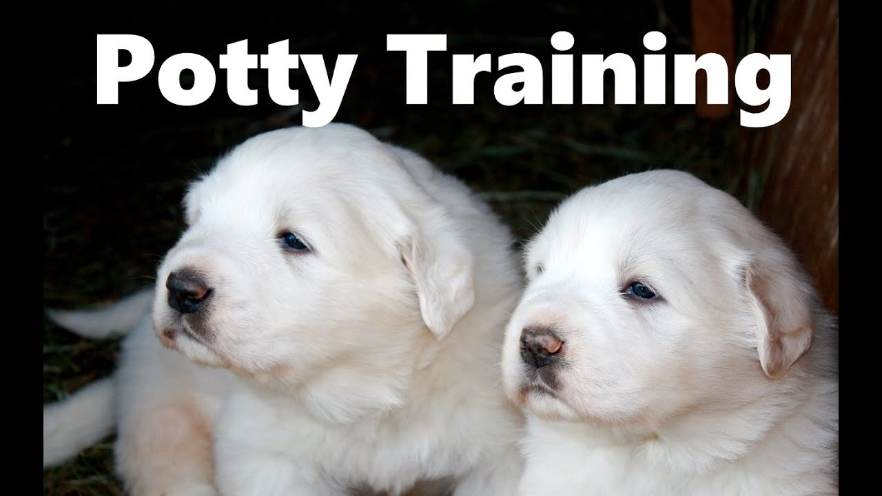 how to potty train a great pyrenees puppy - great pyrenees house