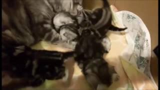 Малыши и мама! Британские котята черный мрамор на серебре.