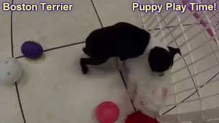Boston Terrier, Puppies, For, Sale, In, Tampa, Florida,fl,st Petersburg,clearwater,
