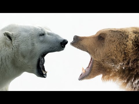 Grizzly Bears: Behemoths of the Wild