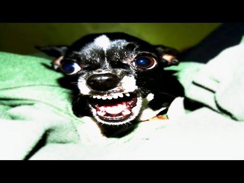 La Verdadera Historia Del Chihuahua