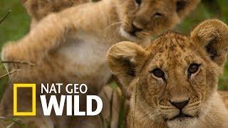 Lew z afrykańskiej sawanny - Agresywne gry i zabawy