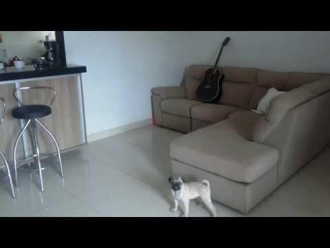 Pug Subindo no Sofá - Jackie Pug - YouTube