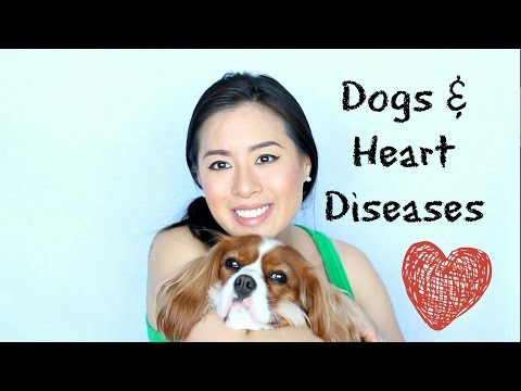 Heart diseases in Cavalier King Charles Spaniel Dogs  Mitral Valve Disease