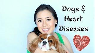 Heart diseases in Cavalier King Charles Spaniel Dogs |Mitral Valve Disease