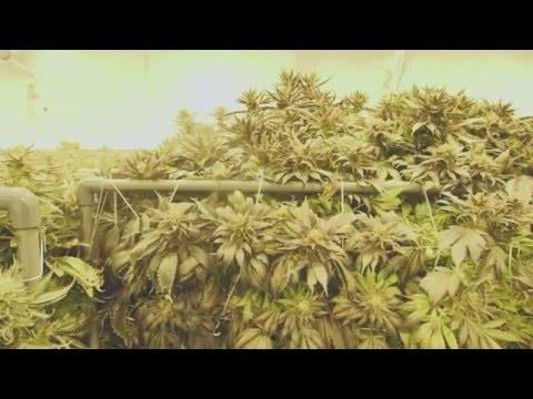 Marijuana Mania Episode 2- When Big Business Meets Culture