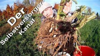 Yacon Anbau und Ernte im Garten