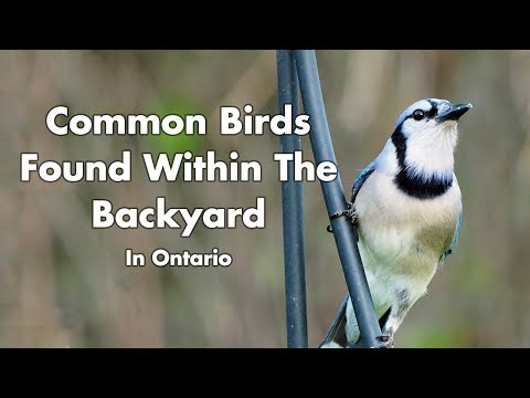 Wild Birds Found In My Backyard - Ontario Canada - Part 1 - Bird Sounds