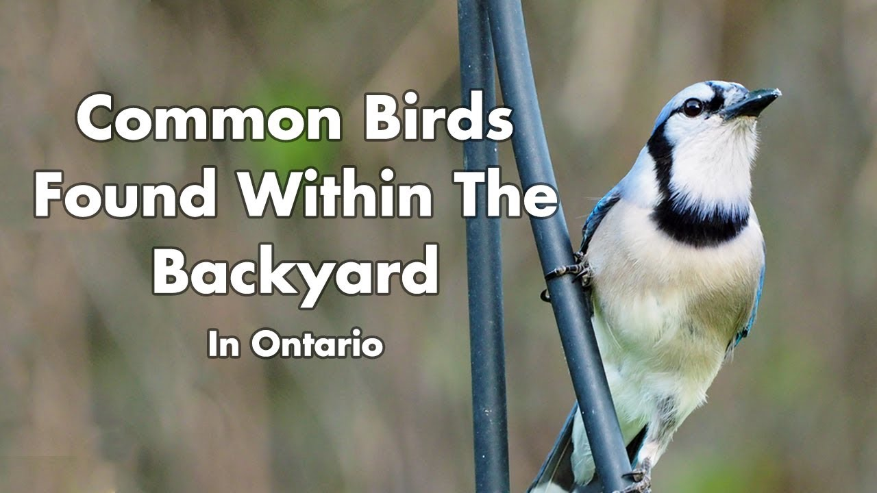 what birds can i find in my backyard in ontario canada youtube