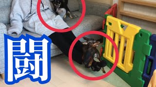 Miniature Pinscher and Chihuachs fight with mommy. ミニチュアピンシ...
