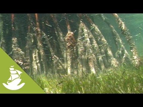 The mangrove swamp of Cuba
