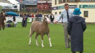 Merlod Mynydd Cymreig Penc Ebolion / Welsh Mountain Ponies Foal champ