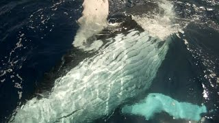 Whale off the coast of Kauai