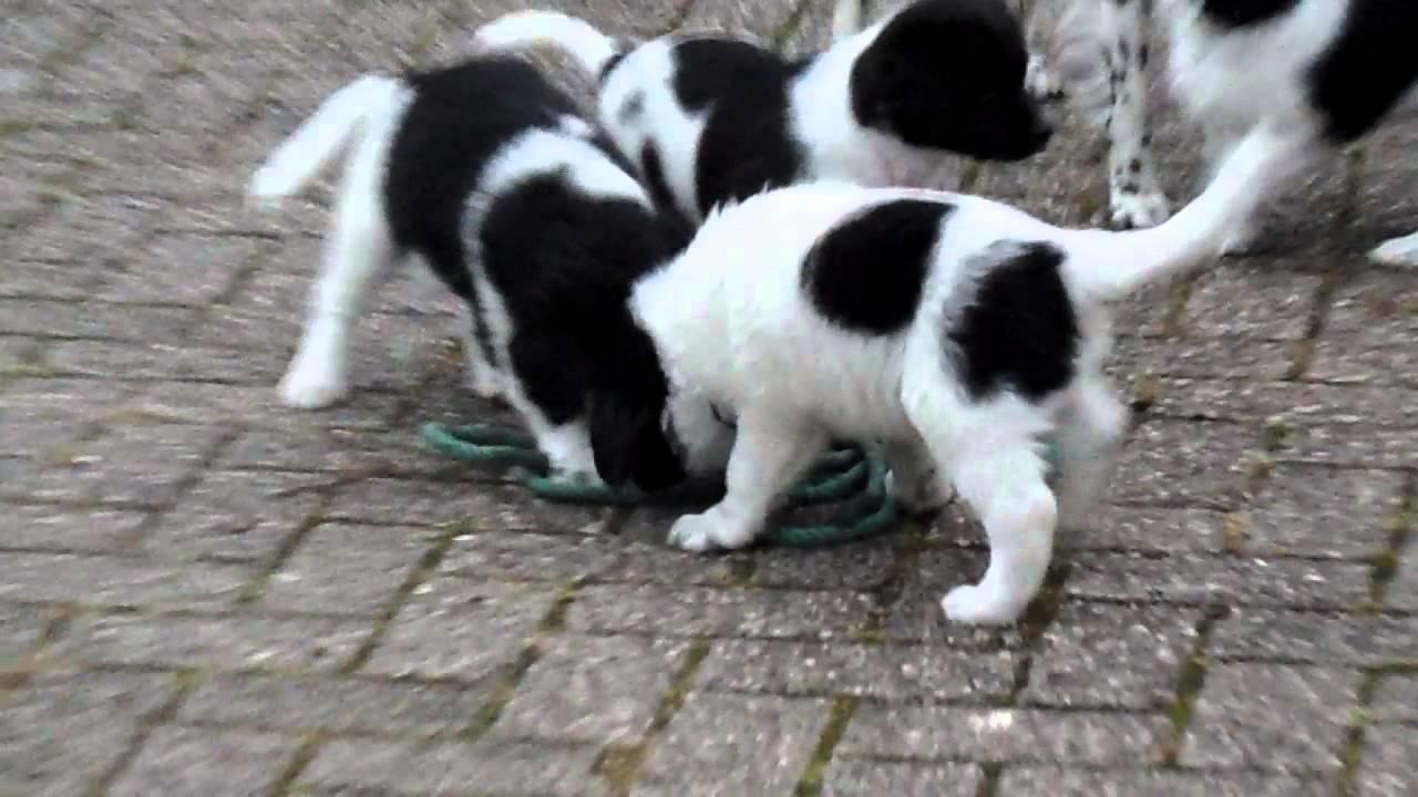 raalte - friese stabij pups (7 weken) - youtube