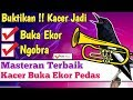 Pancingan Kacer Agar Buka Ekor Ngobra Teler  Mp3 - Mp4 Download