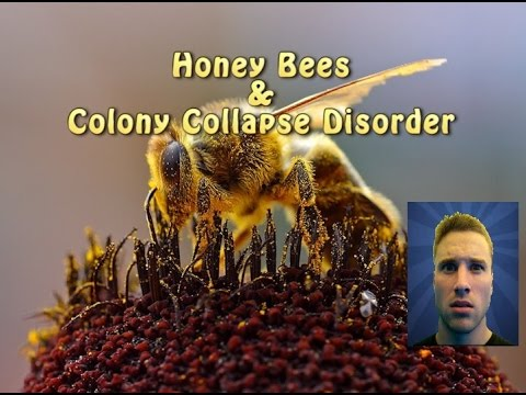 Honey Bees and colony collapse disorder.