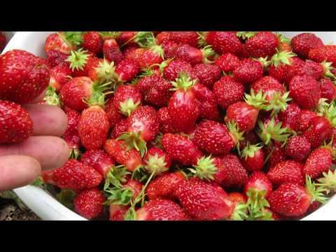 Strawberry farm experience in kenya