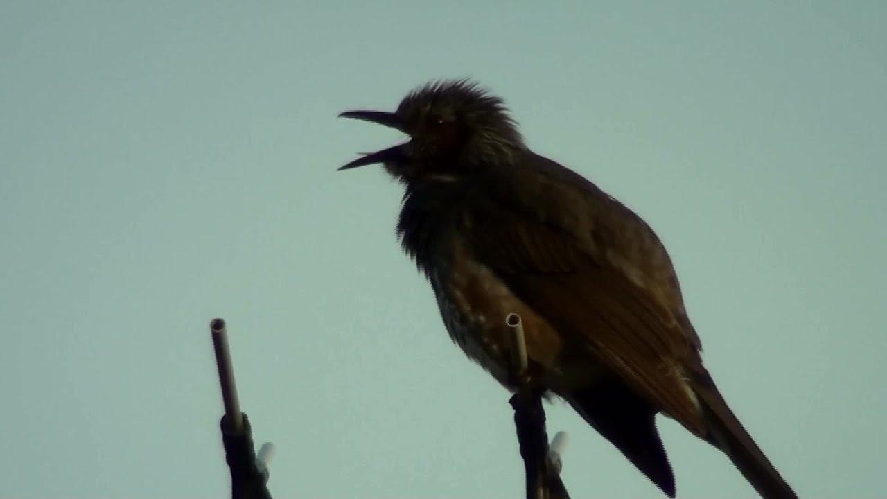 ヒヨドリ の 鳴き声