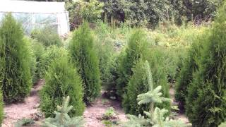 Туя колоновидная. Посадочный материал собственного производства.(Добрый день! Мы занимаемся выращиванием и продажей растений для ландшафтного дизайна. В ассортименте собст..., 2014-07-02T15:28:12.000Z)