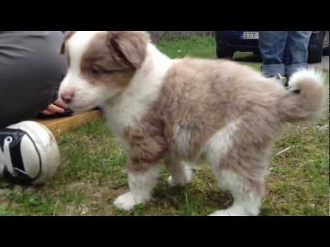 Mini aussie puppies ' Miniature American Shepherd ' - Väljer valp / choosing a puppy