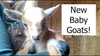 New Baby Goats on The Farm!
