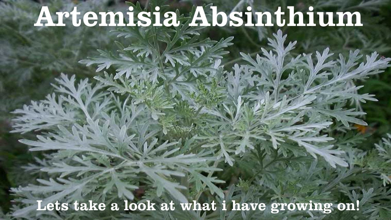 artemisia. wormwood, artemisia absinthium, does this cure cancer? #wormwood a