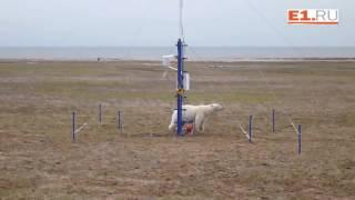Ученые из Екатеринбурга столкнулись в Арктике с белыми медведями