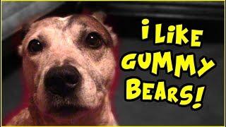 Spudward Saturday- I Like Gummy Bears! Dog Tasting Human Food