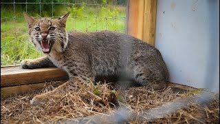 Trapping WILD BOBCAT in HOME MADE trap! {Catch Clean Cook} Cast Iron Bobcat Loin