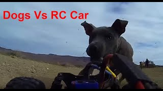 3 dogs vs RC car! Dogs Win!
