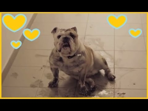 Best Bulldog Vine ever! Funny Bully Compilation! Cute Dog Video