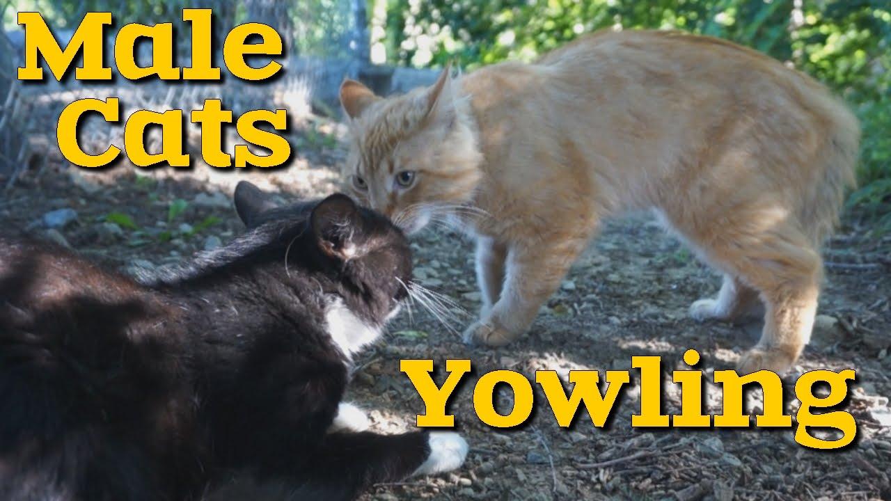 Yowling Cats Youtube