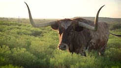 The Official State of Texas Longhorn Herd at Fort Griffin