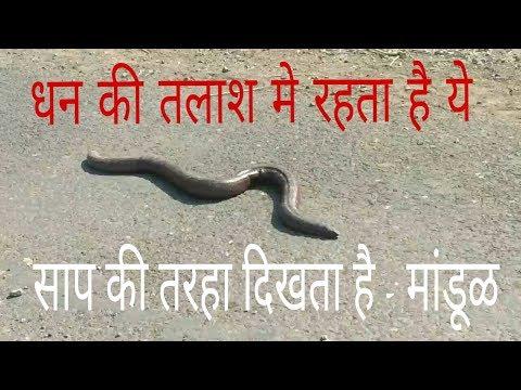 Mandul Snake ! Boas NonVenomous Snakes काला व्यापार चलता है इस साप का!