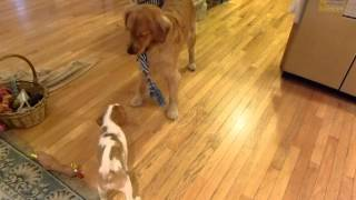 Tug Of War Beagle Puppy And 2 Year Old Golden Retriever