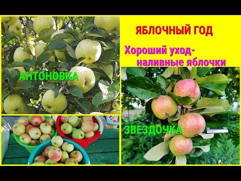 🍎🍏ИЗОБИЛИЕ  МОЛОДИЛЬНЫХ ЯБЛОЧКОВ в нашем саду. Как получить отличный урожай ЯБЛОК!