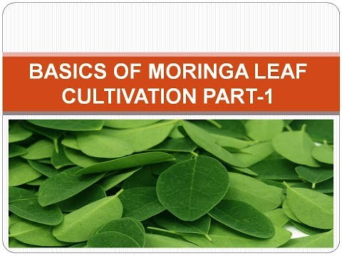 Basics of Moringa Pod and Leaf Cultivation Part-1
