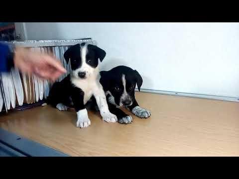cachorros de Mastin y pointer  adopta 618396258